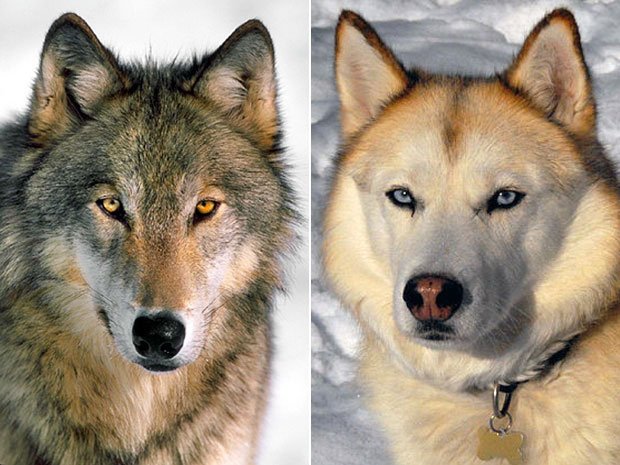 Wolf-to-dog transition had little to do with humans, ancient skull suggests | News | National Post